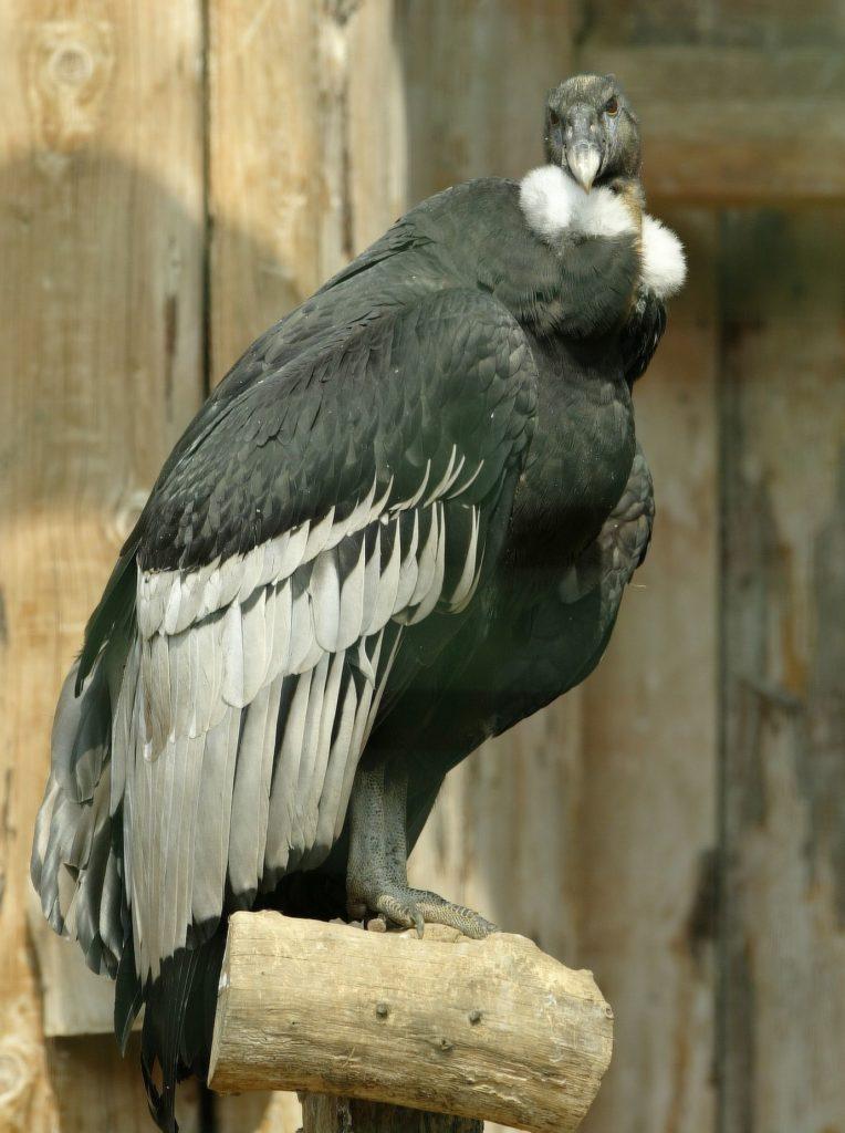 Foto (Adlerwarte Berlebeck): Andenkondor